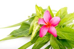 Pink Frangipani flower on tropical leaves Royalty Free Stock Photography
