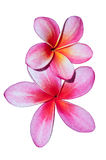 Pink frangipani flowers. Royalty Free Stock Photo