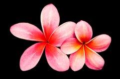 Pink frangipani flowers. Royalty Free Stock Photo