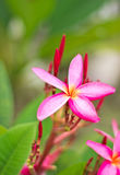 Pink frangipani flowers Royalty Free Stock Images