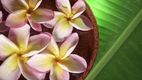 Pink Frangipani Flowers also known as Plumeria or Lilawadee Rotating in Coconut Bowl with Water on Banana Leaf. Shot with a Sony a6300 fps29,97 4k stock footage