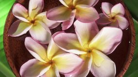 Pink Frangipani Flowers also known as Plumeria or Lilawadee Rotating in Coconut Bowl with Water on Banana Leaf. Shot with a Sony a6300 fps29,97 4k stock video