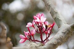 Pink frangipani flowers Stock Photos