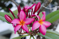 Pink Frangipani flowers. Branch of tropical pink flowers frangipani (plumeria) on dark green leaves background Royalty Free Stock Photography