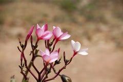 Pink frangipani flowers Royalty Free Stock Images