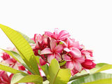 Pink frangipani flowers Royalty Free Stock Photography