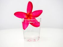 Pink frangipani flowers floating in a small glass of water. Stock Image