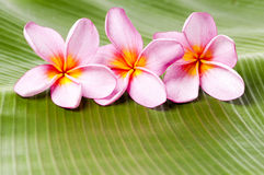 Pink Frangipani Flowers Royalty Free Stock Photo