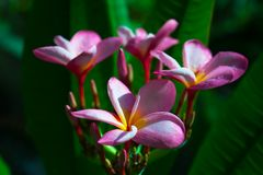 Pink frangipani flowers in the garden. Royalty Free Stock Images