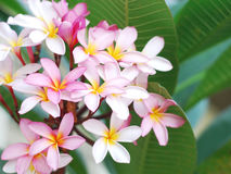 Pink frangipani flowers with green leaves background. Pink frangipani flowers with green leaves Stock Images