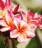 Pink frangipani flowers Stock Photography