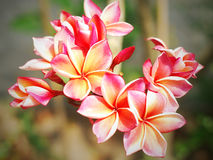Pink frangipani flowers Royalty Free Stock Photos