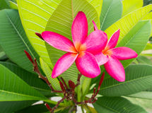Pink frangipani flowers Royalty Free Stock Image
