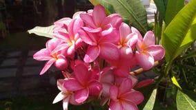 Pink frangipani flowers Stock Photography