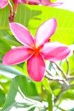 Pink Frangipani Flowers Stock Image
