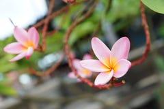 Pink frangipani flowers on tree Stock Photography