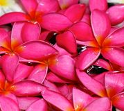 Pink Frangipani Flowers in water Stock Photography