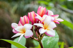 Pink frangipani flowers Stock Images