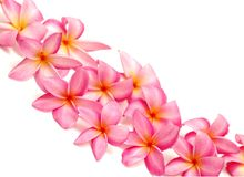Pink Frangipani For Border Royalty Free Stock Photos
