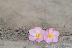Pink Frangipani Stock Images