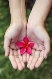 Pink frangipani in hands Royalty Free Stock Photography