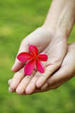 Pink frangipani in hands Stock Image