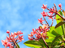 Pink frangipani in nature frame Stock Image