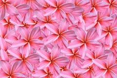 Pink frangipani or plumeria flowers Royalty Free Stock Photography