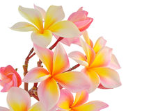 Pink frangipani royalty free stock photography