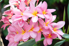 Pink frangipani ,plumeria, spa flowers Royalty Free Stock Photography