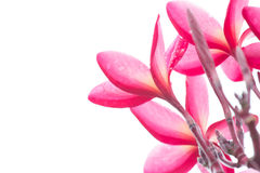 Pink Frangipani, Plumeria, Thai flower Royalty Free Stock Image