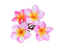 Pink frangipani or plumeria & x28;tropical flowers& x29; isolated. On white background royalty free stock image