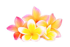 Pink frangipani or plumeria & x28;tropical flowers& x29; isolated Royalty Free Stock Images