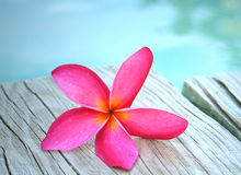 Pink Frangipani by Pool. A pink frangipani flower sitting on some textured wood beside a pool on a summers afternoon Stock Image