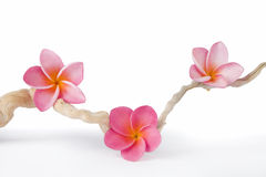 Pink Frangipanis and Driftwood Royalty Free Stock Image