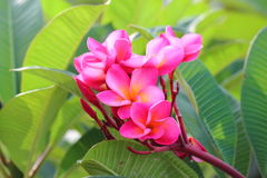 Pink Frangipanis flower Stock Photo