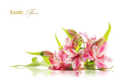 Pink freesia flowers Stock Photos