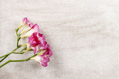 Pink freesia flowers on wooden background stock images