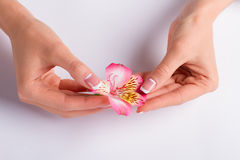 Pink freesia with franch manicure. Pink freesia with franch manicure on a white background stock image