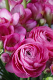 Pink freesia and pink persian buttercup Stock Images
