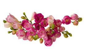 Pink freesias Stock Photos