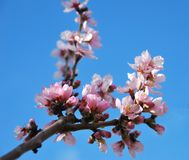 Fresh pink spring flowers against blue sky stock photo