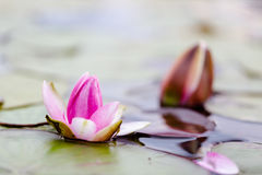 Pink fresh open water lily, Nymphaeaceae, on lake Royalty Free Stock Photo