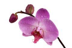 Pink  fresh  orchid Stock Image