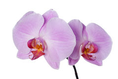 Pink fresh orchid Royalty Free Stock Photos