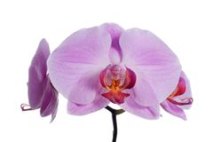 Pink fresh orchid Royalty Free Stock Images