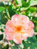 Pink fresh rose flower close up Stock Image