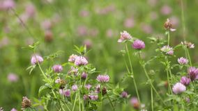 Pink clover flower growing in green grass field. Pink fresh spring clover flower growing in green grass field on summer day, close up stock video