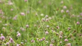 Pink wildflowers growing in green grass field. Pink fresh spring wildflowers growing in green grass field on summer day, close up stock footage