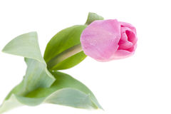 Pink fresh tulip Royalty Free Stock Photography